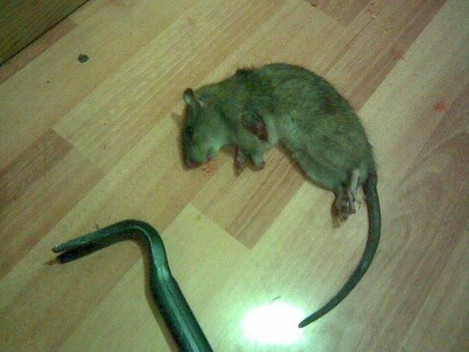 Как ухаживать за крысой в домашних условиях?