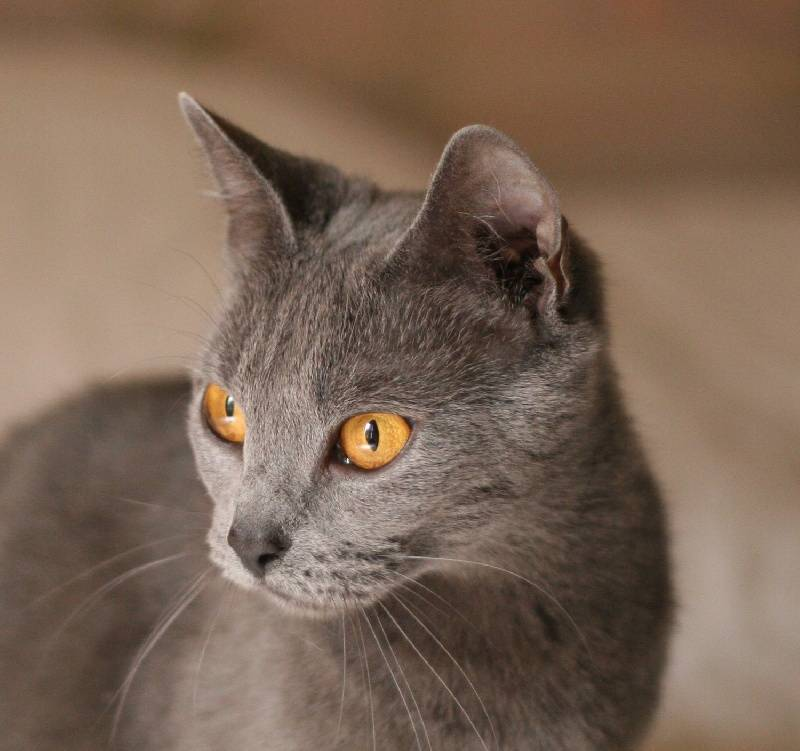 Шартрез: фото кошки, цены, описание породы, характер, видео шартрез: фото кошки, цены, описание породы, характер, видео