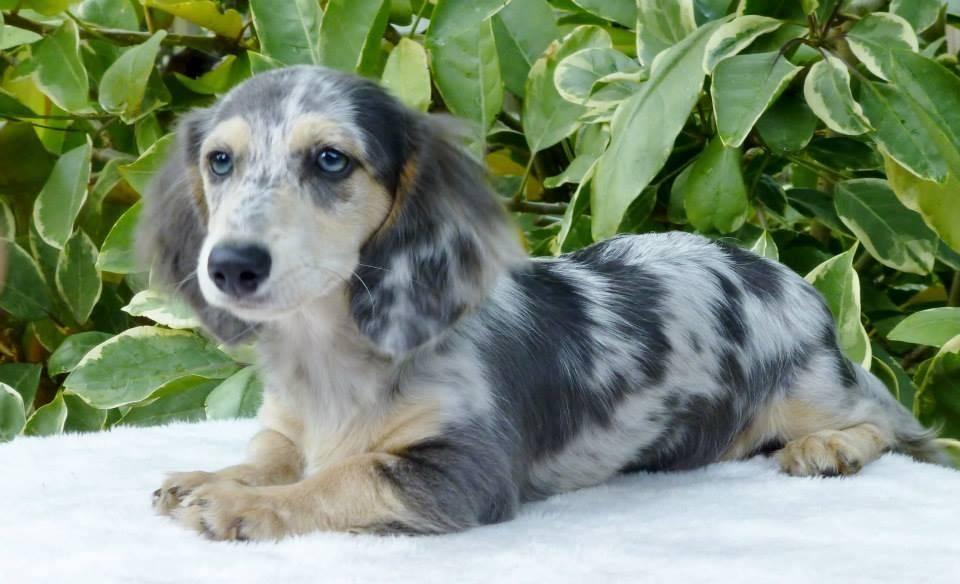 Такса: окрасы, мраморная, шоколадная, тигровая, голубая, с голубыми глазами