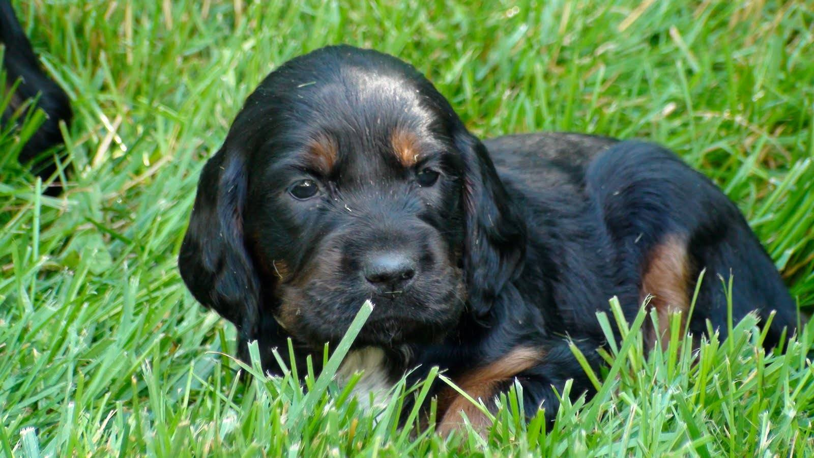 Шотландский сеттер (34 фото): описание собак породы гордон. разновидностью какой породы они являются?