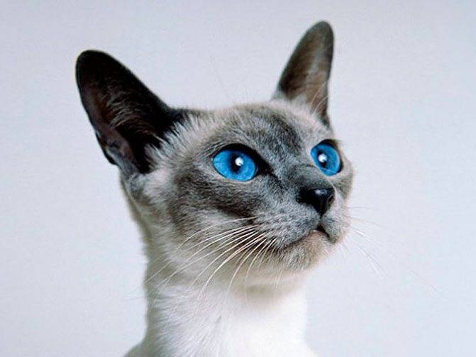 Тонкинская порода кошек: уход, внешний вид, характер