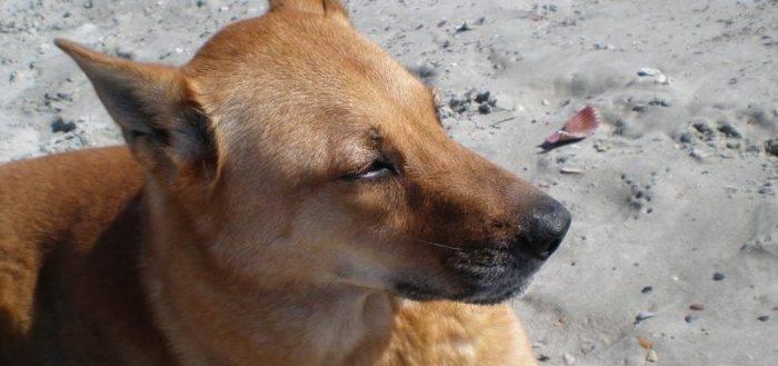 Каролинская собака — фото, описание породы, особенности характера