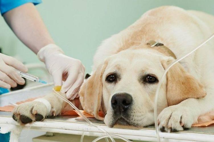 """Фиброзно-хрящевая эмболия (фхэ) у собак - причины, лечение нарушений мозгового кровообращения  в спинном мозге  у собак в москве. ветеринарная клиника """"зоостатус"""""""