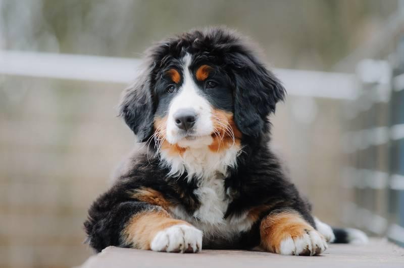 Характеристика собак породы бернский зенненхунд с отзывами и фото