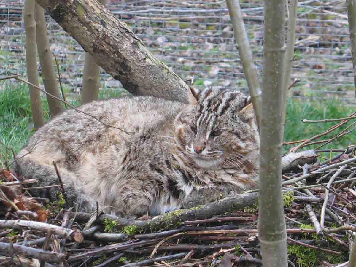 Описание и фото амурского лесного кота, возможность содержания в домашних условиях