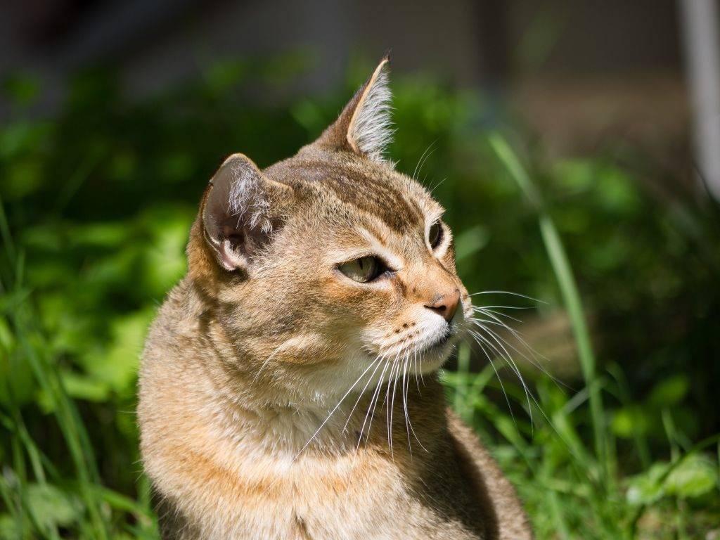 Окрасы тайских кошек (30 фото): описание кошек табби-пойнт и сил-тебби-поинт, блю-пойнт и других окрасов