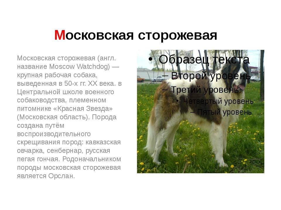 Московская сторожевая: описание, характеристика и фото породы