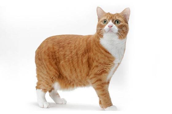 Мэнкс кошка: фото, видео, о породе, характере, уходе, здоровье