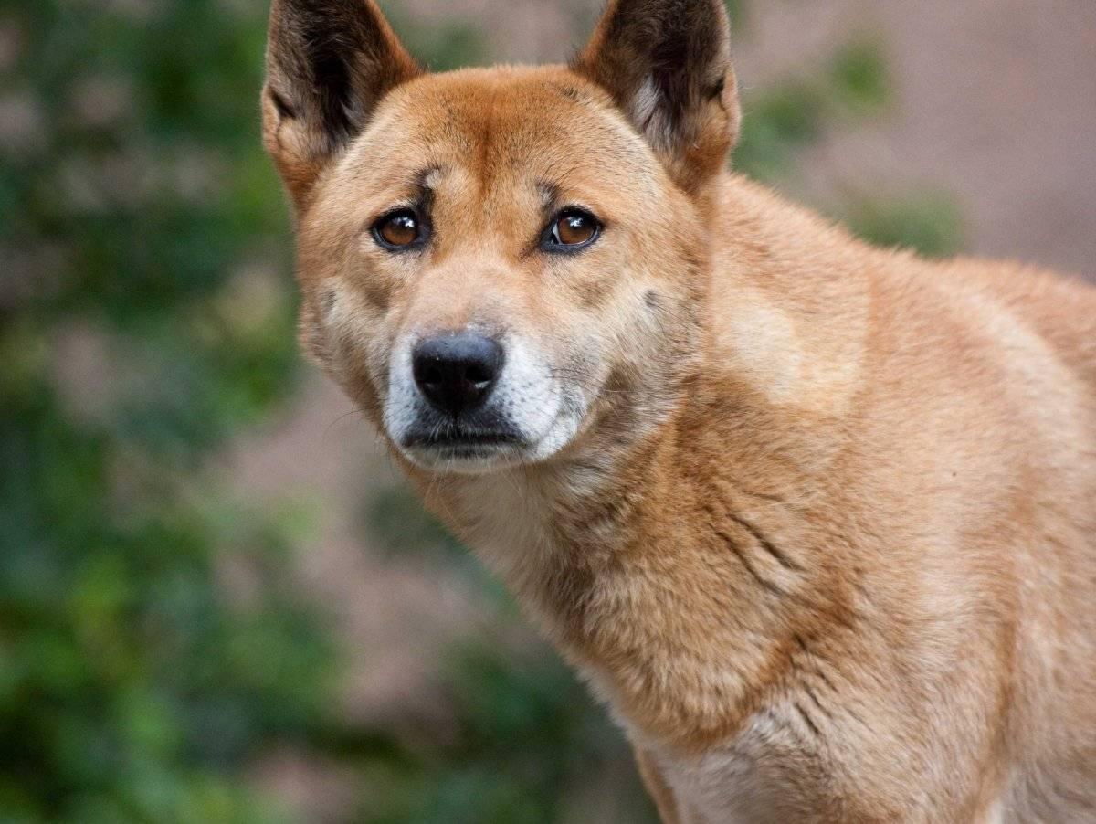 Новогвинейская поющая собака: особенности и история