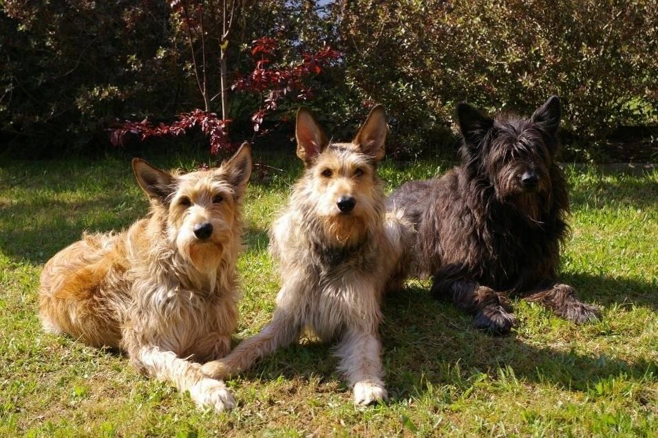 Список и описание пастушьих пород собак