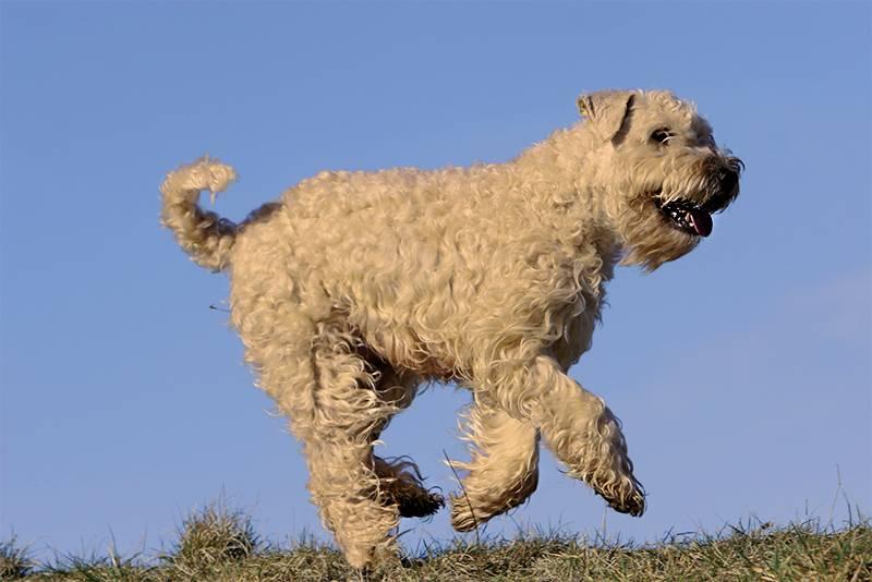Обзор собак породы ирландский мягкошерстный пшеничный терьер: стандарт и уход