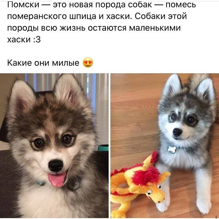 Шпицеобразные и примитивные собаки