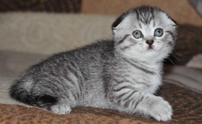 Какие породы кошек участвуют в рекламе вискас? шотландские прямоухие кошки - твой питомец