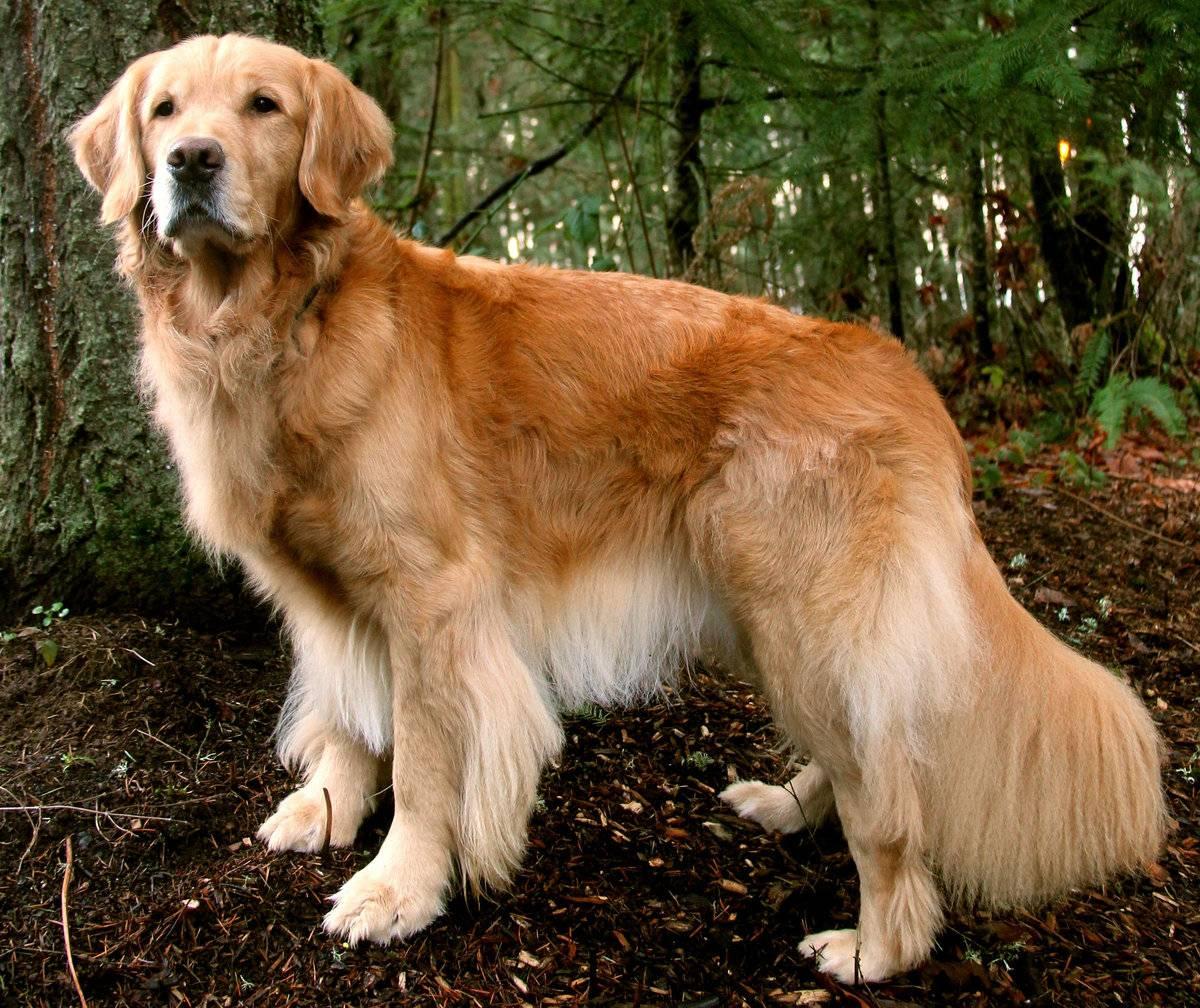 Топ 10 самых умных пород собак в мире - рейтинг
