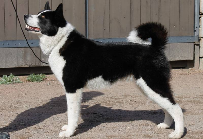 Карельская медвежья собака