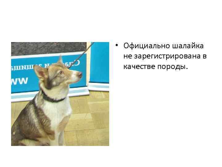 Шалайка: фото представителей новой породы собак выведенной российскими кинологами
