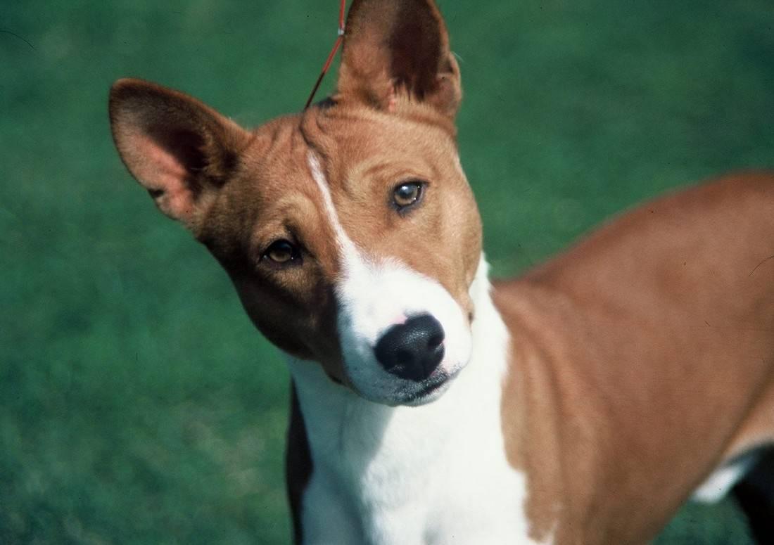 Собака которая не лает - что за порода и ее характер