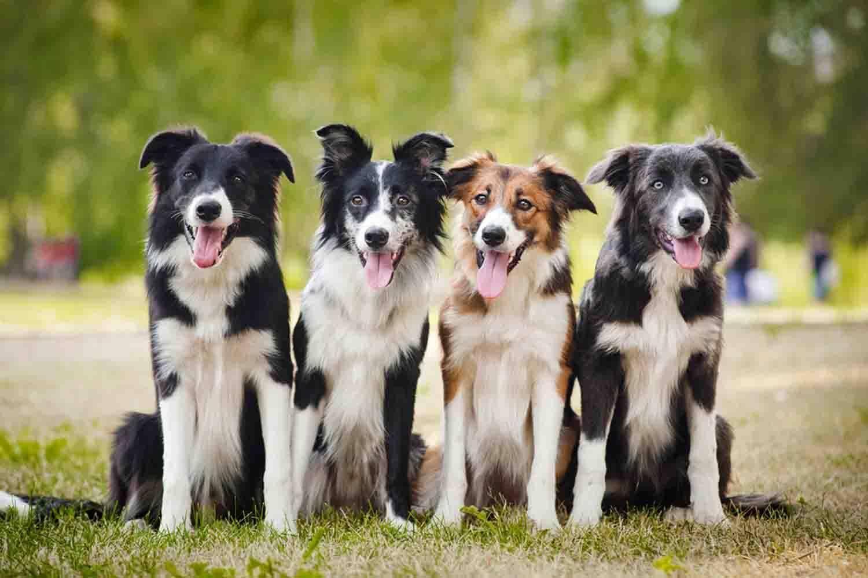 Бордер-колли – описание и история породы, плюсы и минусы, характер и правила содержания собаки