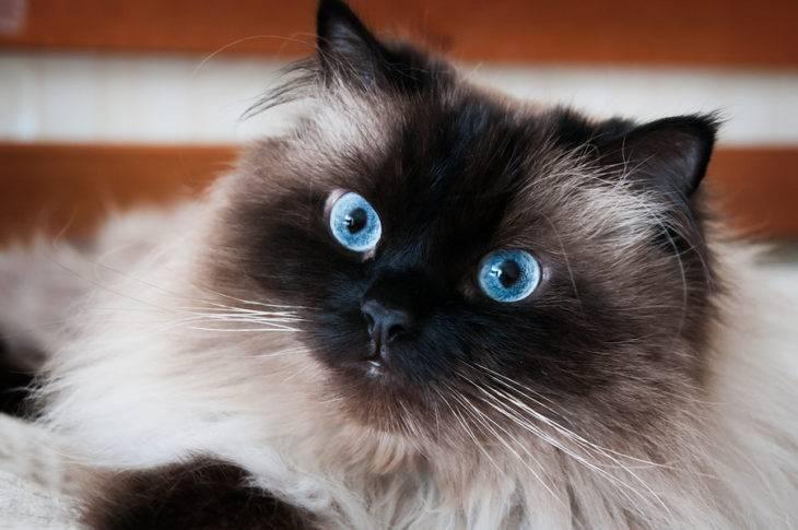 Гималайская (длинношерстный колорпойнт) кошка: подробное описание, фото, купить, видео, цена, содержание дома