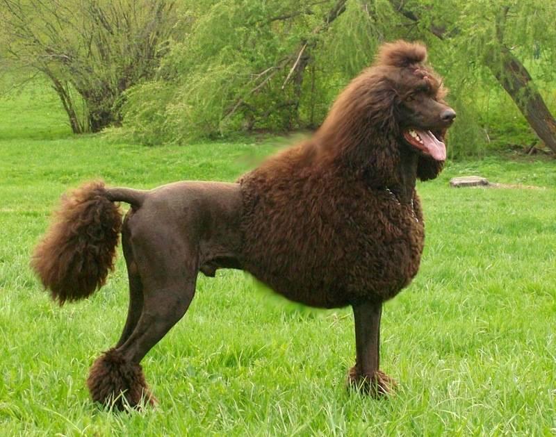 Карликовый пудель собака. описание, особенности, уход и цена карликового пуделя | sobakagav.ru