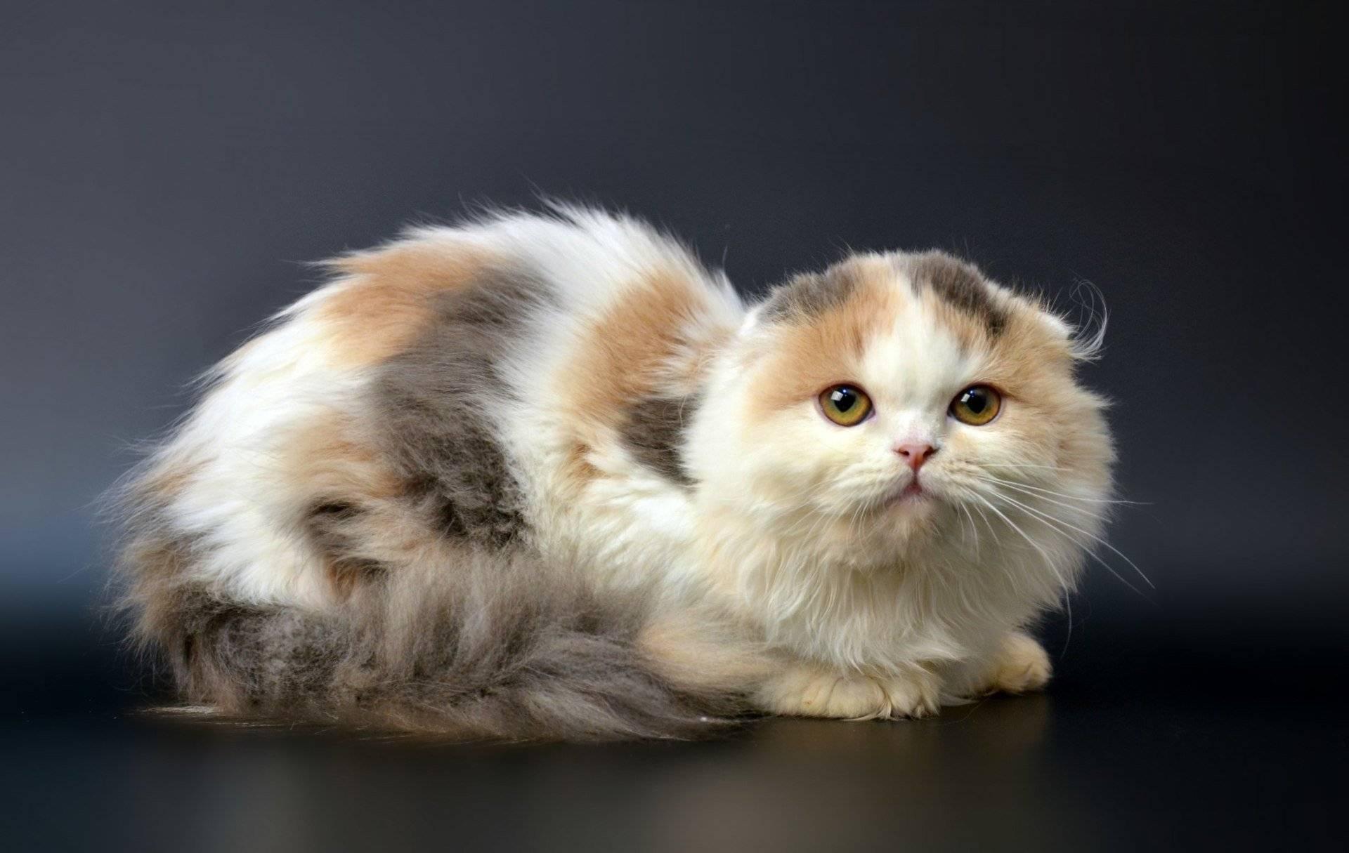 Хайленд фолд: описание породы кошек, характер, отзывы (с фото и видео)