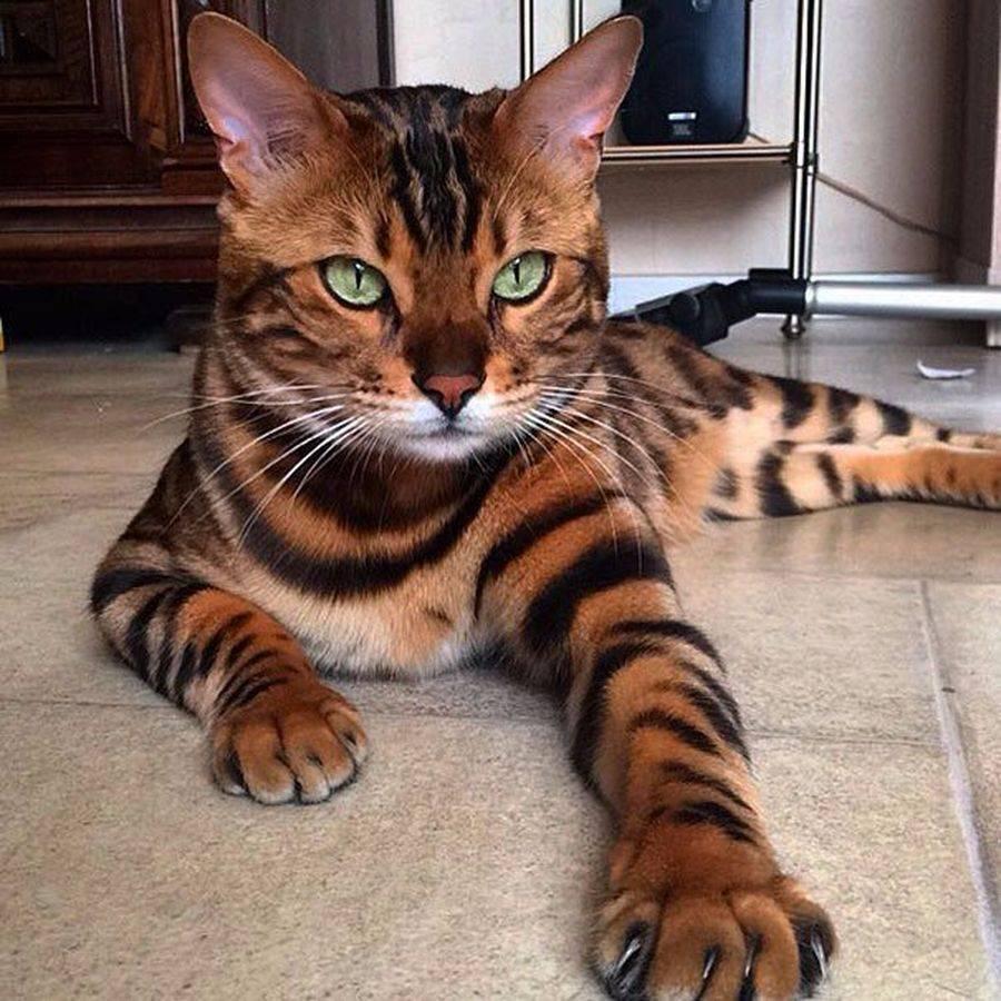 Новые породы кошек