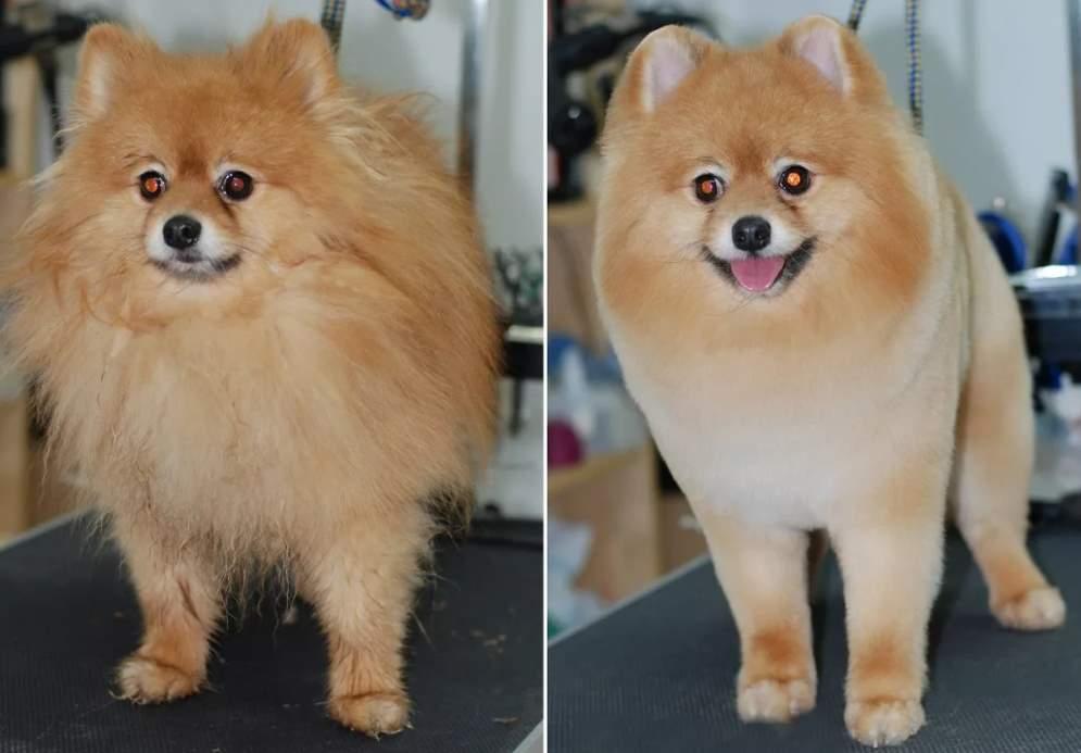 Как выглядит подстриженный шпиц, фото до и после