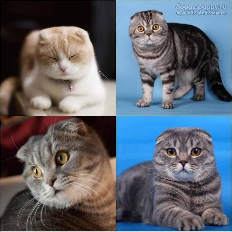 Все шотландской вислоухой кошке: внешний вид и особенности характера породы