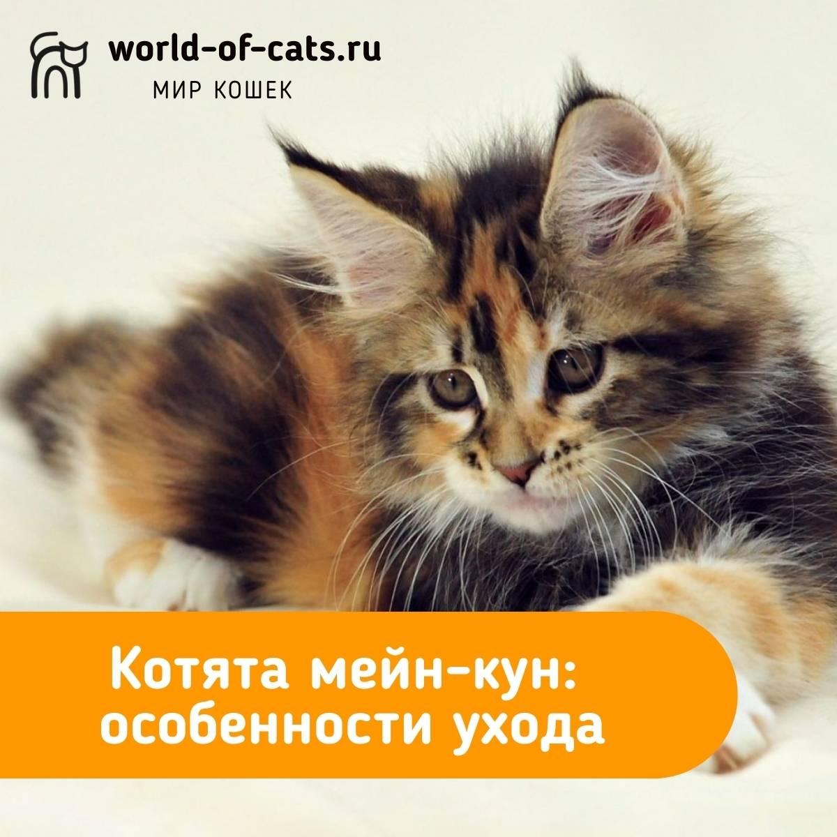 Мейн-кун: порода кошек, описание, фото – соседки