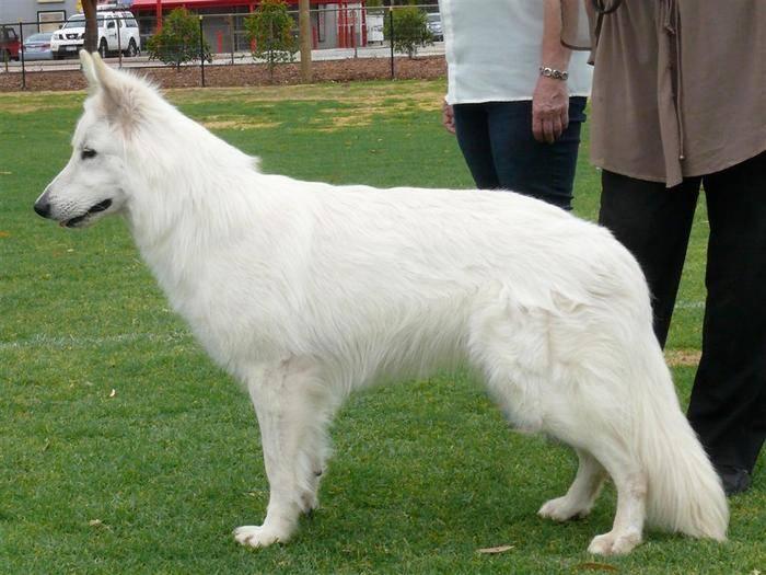 Бшо белая швейцарская овчарка собака. описание, уход и цена породы   животный мир