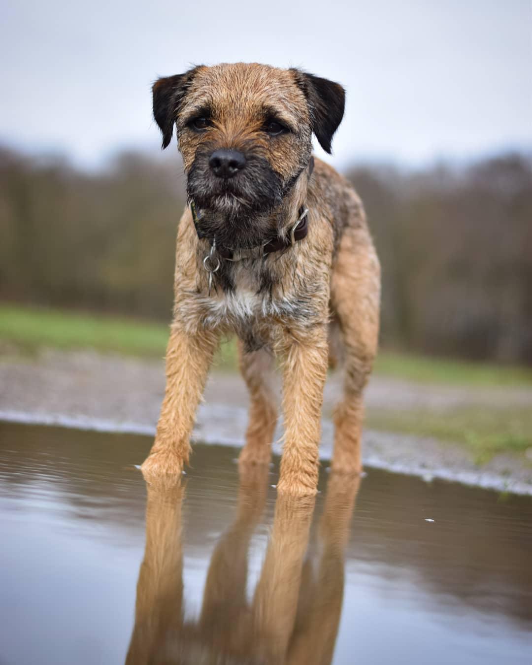 Бордер-терьер – порода собак