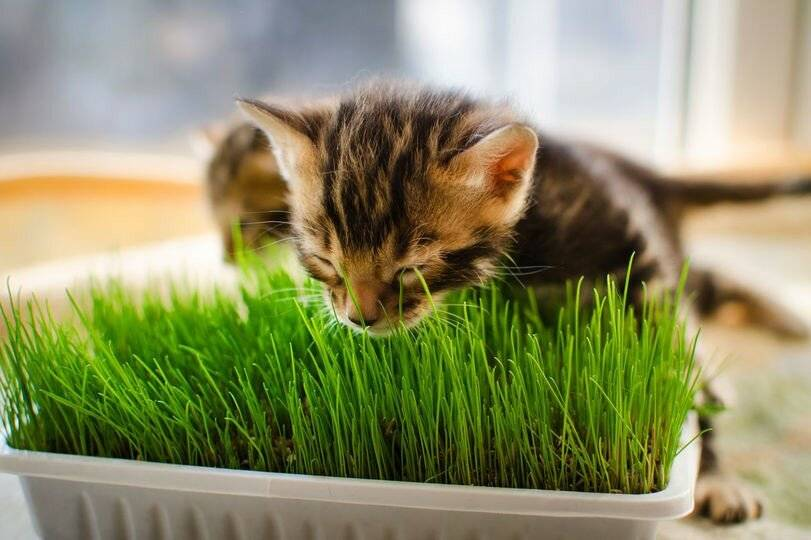 Трава для кошек: какие виды растительности они едят, как вырастить лакомство в домашних условиях, отзывы