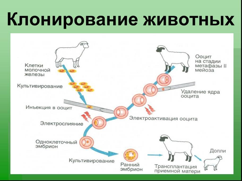 Клонирование растений: этапы, примеры, плюсы и минусы