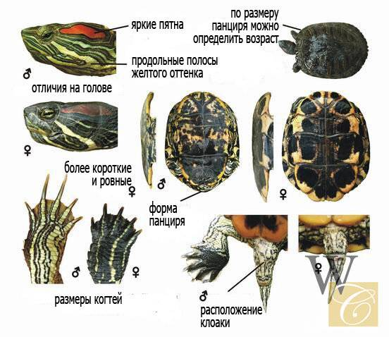 Строение домашней черепахи: как выглядит и из чего состоит панцирь, есть ли зубы