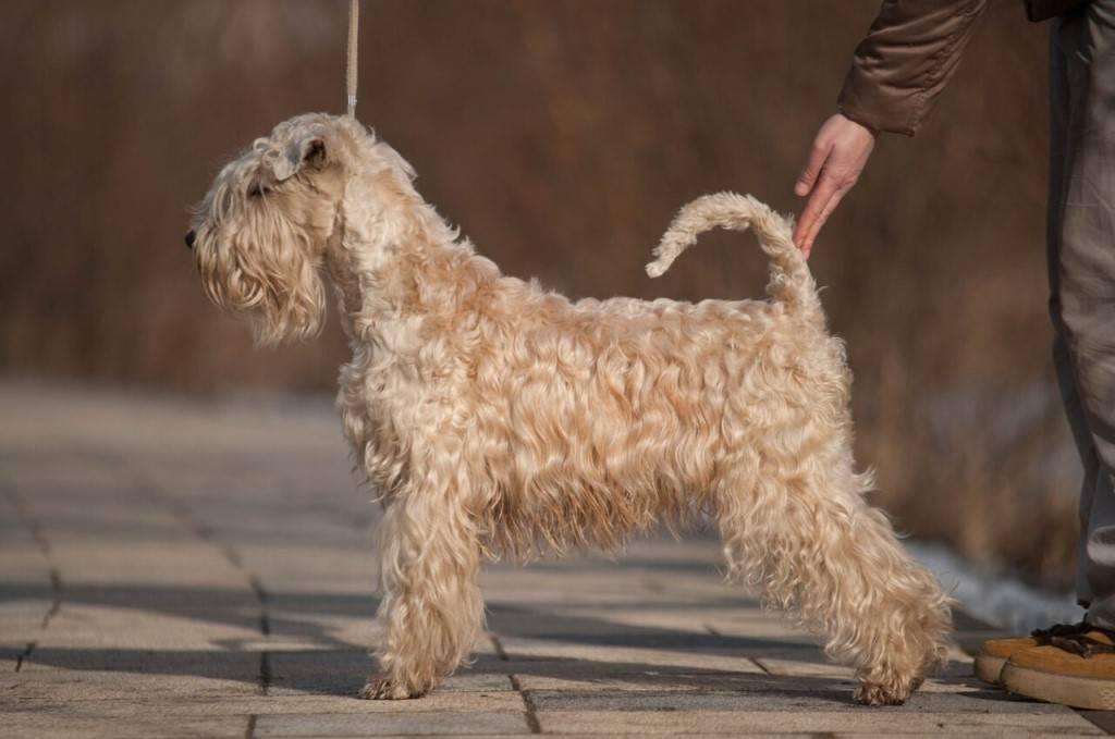 Ирландский терьер: плюсы и минусы собаки, нюансы содержания