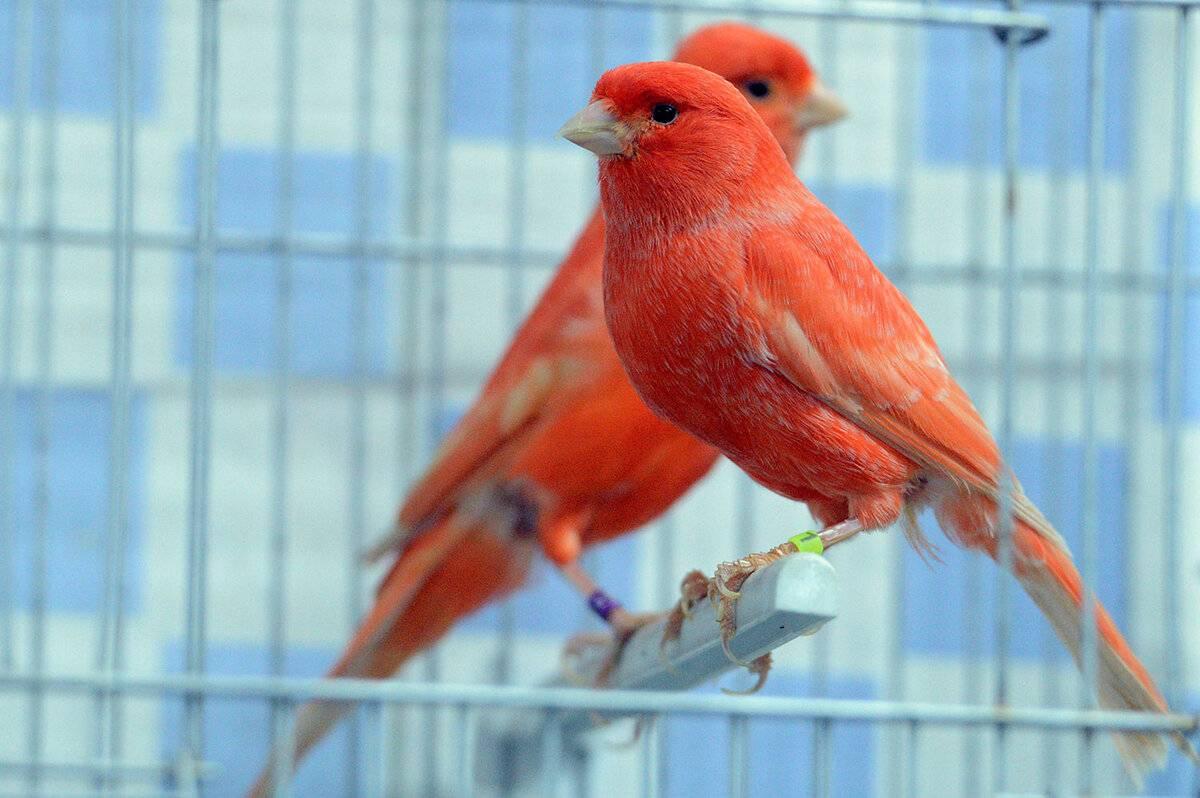 Птицы для детей: попугаи, амадины и канарейки - затылёнка