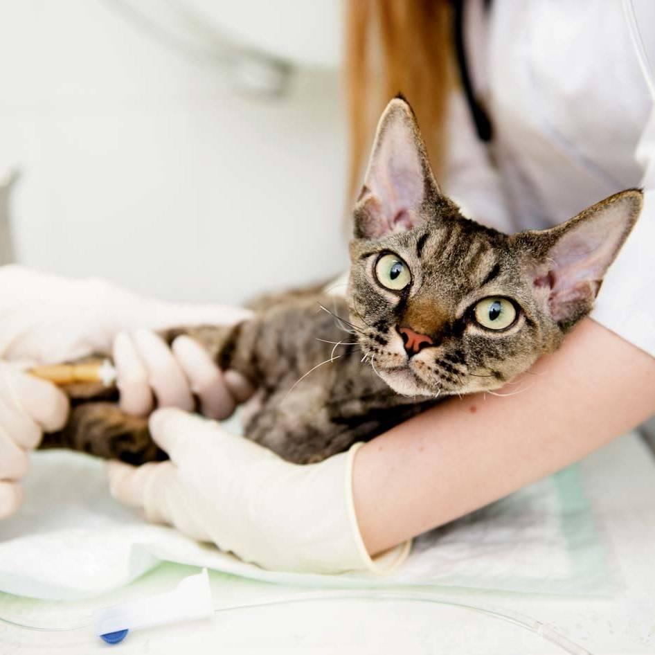 Разнообразные лысые кошки. название и история развития пород
