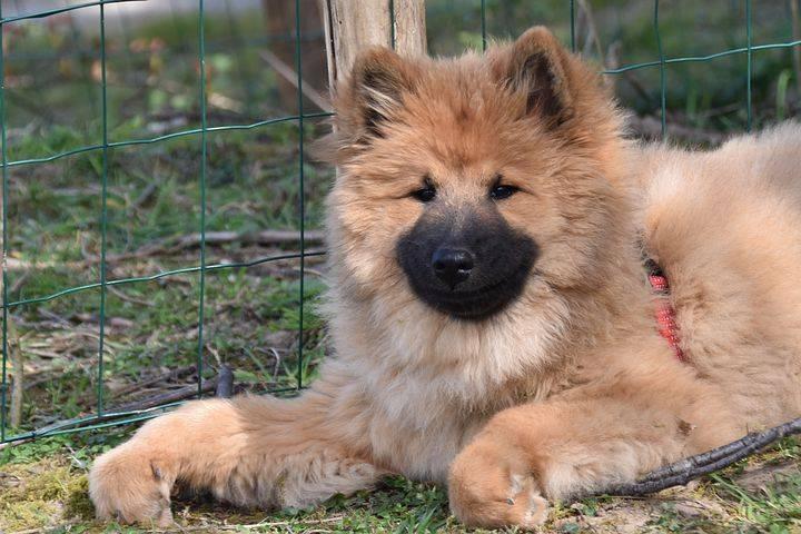Евразиер — самая молодая немецкая порода собак