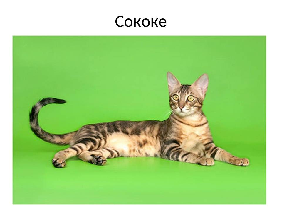 Сококе: описание породы, характер кошки, советы по содержанию и уходу, фото
