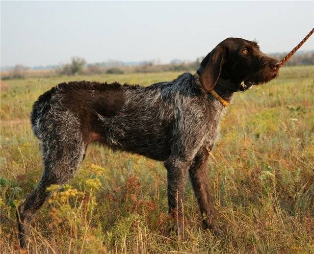 Дратхаар: фото и характеристика породы собак