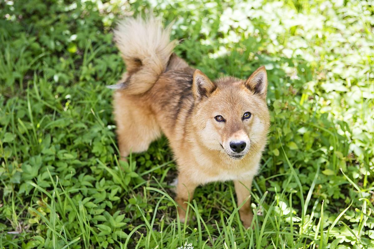 Шалайка или собака сулимова: описание породы | собаки мира