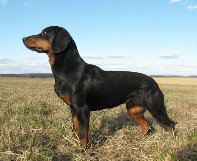 Словацкий чувач: описание породы, содержание, для каких целей заводят эту собаку, фото