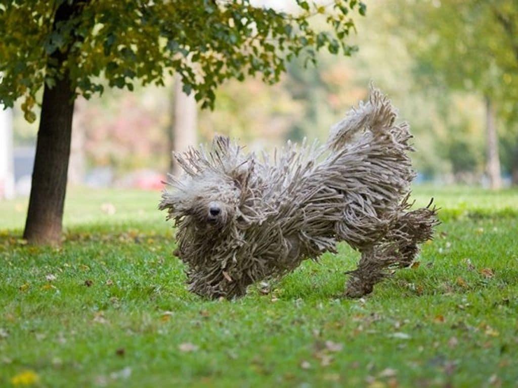 Породы пули и пуми: фото собак, описание экстерьера и характера