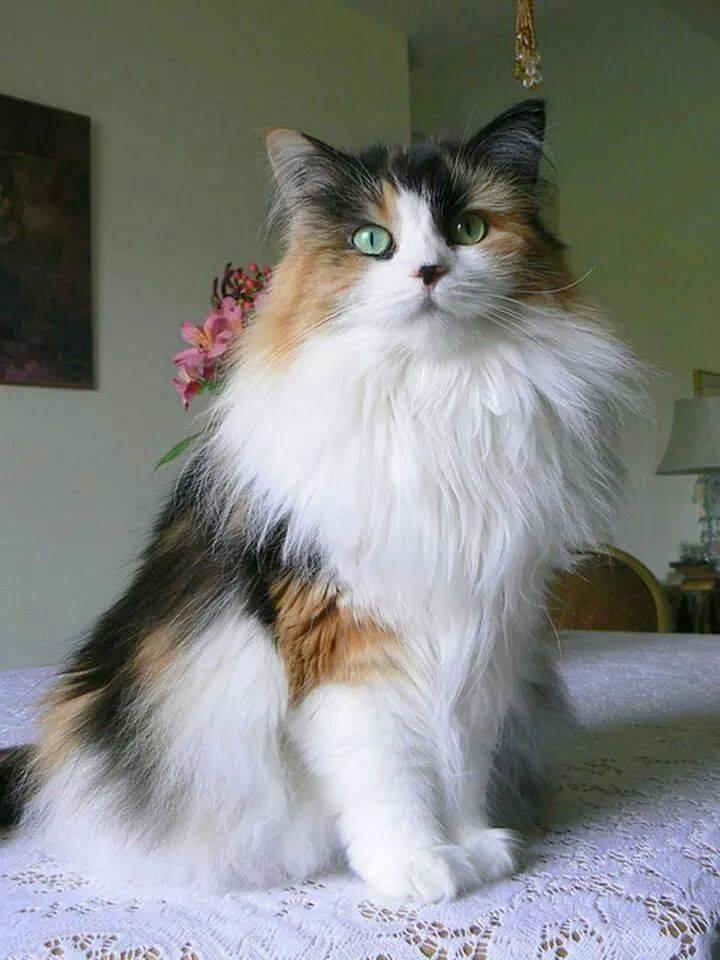 Описание пород американских кошек и их содержание