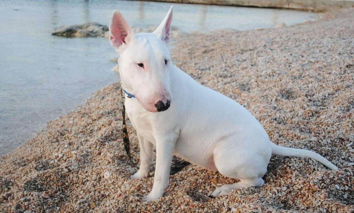 Порода собак бультерьер: самое честное описание