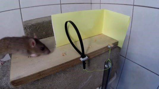 Как поймать крысу в домашних условиях самодельным способом (подходит также для сарая или погреба)