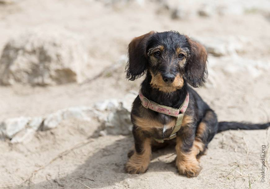 Какой кличкой назвать щенка бигля? лучшие имена для девочки или мальчика