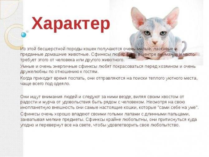 Сколько живут сфинксы: кошки и коты в домашних условиях   кастрированные