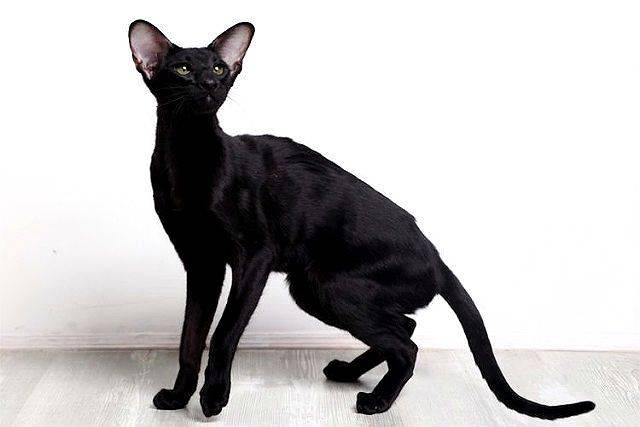 Все о кошках черных. черные кошки: темная история с генетикой, особенности характера и прочая мистика