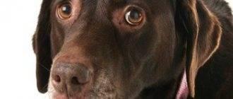 Бешенство у собак: симптомы, признаки, что делать если укусила собака